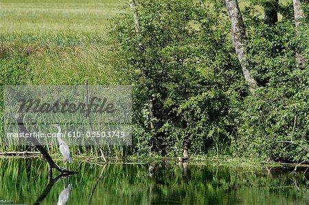 France, Bourgogne, Ancy Le Libre, la rivière Armancon, heron