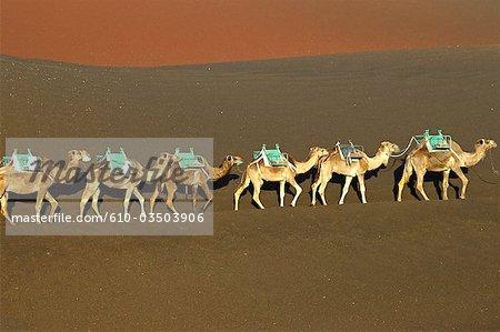 Espagne, Iles Canaries, Lanzarote, le parc national de Timanfaya, voyage sur un volcan à dos de chameau
