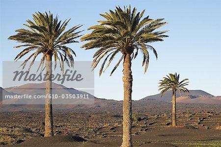 Espagne, Iles Canaries, Lanzarote, palmiers