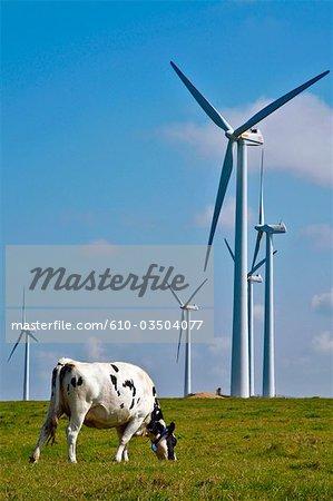 France, Normandie, Fécamp, à vent et une vache