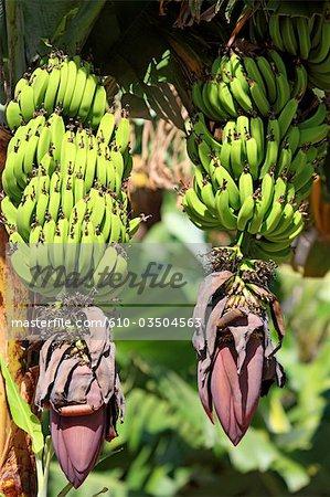 Espagne, Iles Canaries, la Gomera, tas de bananes