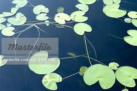 Indonesia, Bali, lake Bratan, waterlilies
