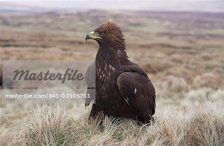Captive golden eagle (Aquila chrysaetos) on moorland, United Kingdom, Europe