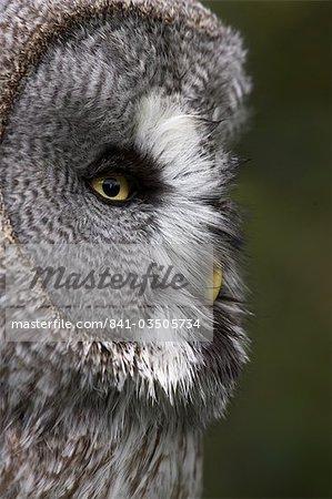 Portrait of a great grey owl (Strix nebulosa), captive, United Kingdom, Europe