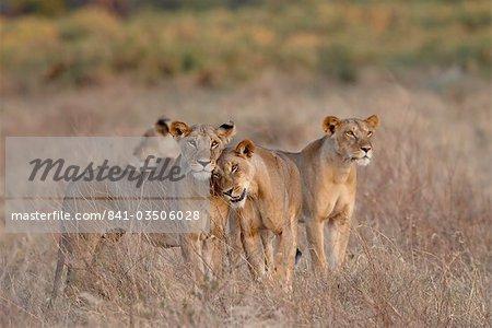 Quatre lionne (Panthera leo), réserve nationale de Samburu, au Kenya, Afrique de l'est, Afrique