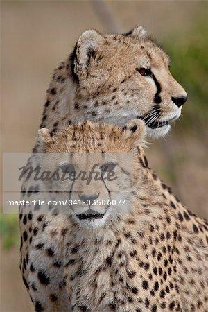 Guépard (Acinonyx jubatus) cub et mère, réserve nationale de Masai Mara, Kenya, Afrique de l'est, Afrique