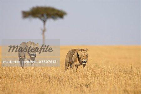 Deux jeunes mâles lions (Panthera leo), réserve nationale de Masai Mara, Kenya, Afrique de l'est, Afrique