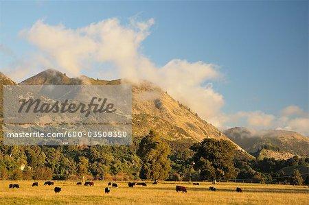 Terres agricoles, près de Pohara, Tasman, South Island, Nouvelle-Zélande
