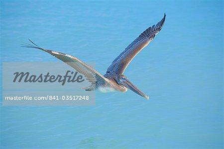 Pelican survolant la mer, Key West, Floride, États-Unis d'Amérique, l'Amérique du Nord