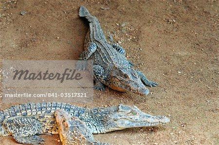 Jeunes crocodiles dans le Centre d'élevage de crocodiles, Laguna del Tesoro (la lagune du Trésor), Matanzas, Cuba, Antilles, Amérique centrale