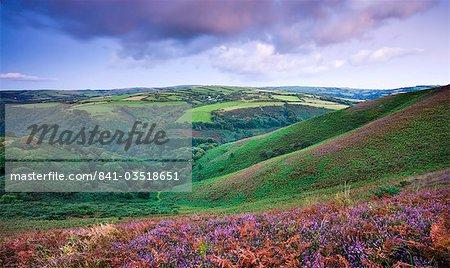 Flowering heather on Trentishoe Down in late summer, Exmoor National Park, Devon, England, United Kingdom, Europe