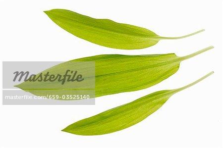 Drei Blätter des Bärlauch (Wilder Knoblauch)