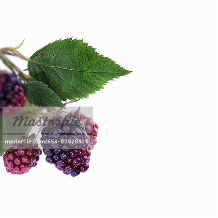Unripe blackberries with leaves