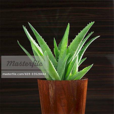 Aloe vera plant in flowerpot