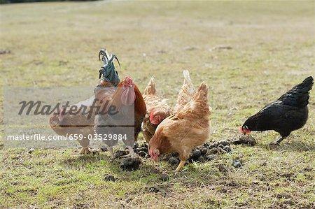 Poules dans un pâturage