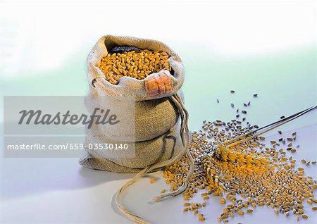 Körner von Weizen, im und neben dem sack
