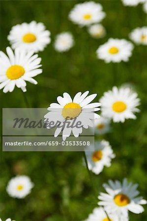 Marguerites en herbe