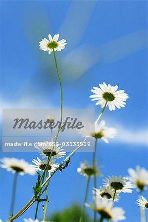 Marguerites against blue sky