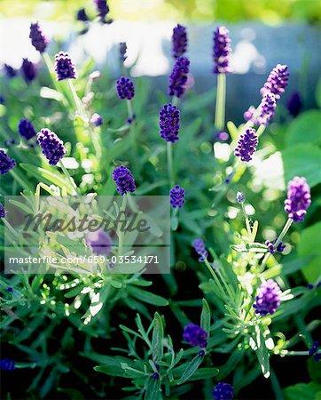 Floraison lavande