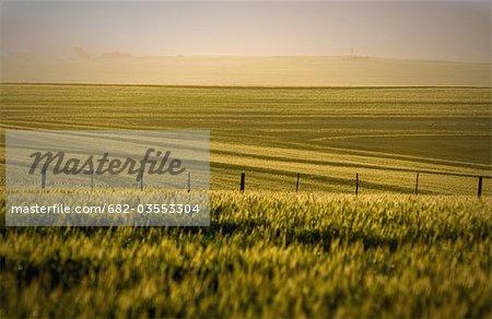 Champs de blé lointain avec brumeux fond et clôture, Durbanville, Province occidentale du Cap, en Afrique du Sud