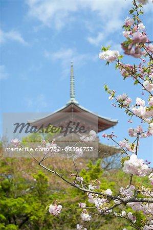 Cerisiers en fleurs, Temple Kiyomizu, Kyoto, préfecture de Kyōto, région du Kansai, Honshu, Japon