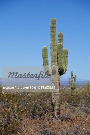 Saguaro Cactus, ouest de l'Arizona, USA