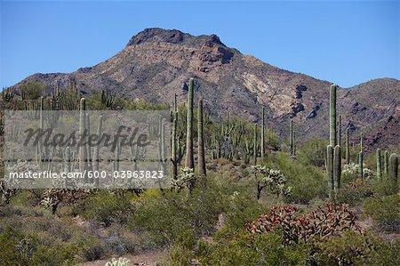 Saguaro et Organ Pipe Cactus, Organ Pipe National Park, Arizona, Etats-Unis