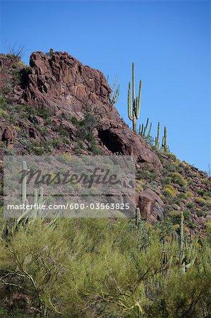 Cactus Saguaro, Organ Pipe National Park, Arizona, Etats-Unis