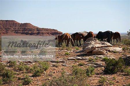 Chevaux pâturage, l'est de l'Arizona, USA