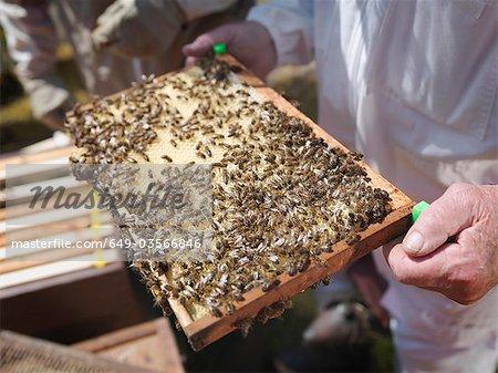 Apiculteur inspecter les peignes de miel