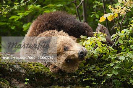 Brown Bear Resting on Rock, Bavarian Forest National Park, Bavaria, Germany