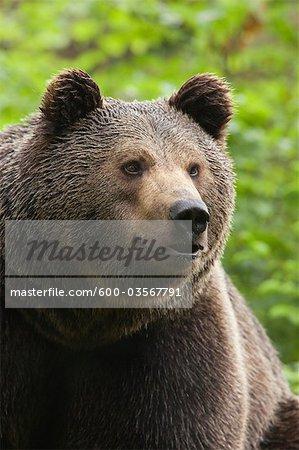 Male Brown Bear, Bavarian Forest National Park, Bavaria, Germany