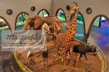 Display at Nairobi National Museum, Nairobi, Kenya, Africa