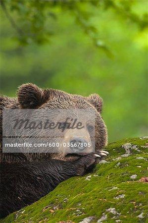Mâle Brown Bear reposant sur la roche, Parc National des forêts bavaroises, Bavière, Allemagne