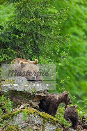 Femelle ours brun avec oursons, Parc National des forêts bavaroises, Bavière, Allemagne