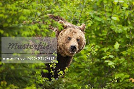 Ours brun, le Parc National Bavarois forêt, Bavière, Allemagne
