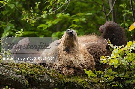 Female Brown Bear Lying on Rock, Bavarian Forest National Park, Bavaria, Germany
