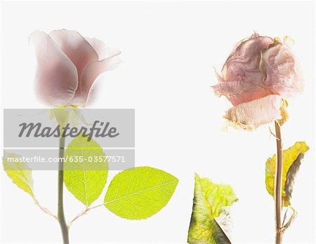 Kontrast von blühenden rosa Rose und sterben Rosa stieg