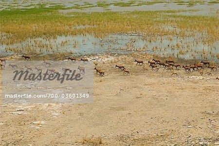 Vue aérienne de l'antilope, lac Turkana, Kenya, Afrique