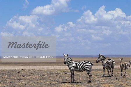 Zebra, Lake Turkana, Kenya, Africa