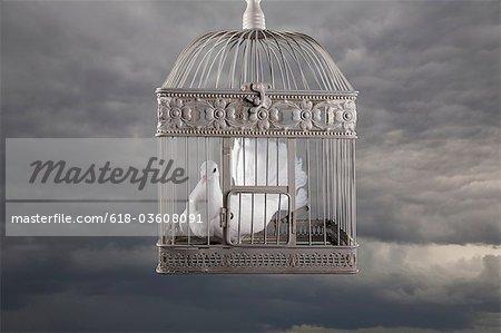 Dove in cage