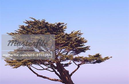 Cypress Tree, nördlichen Kalifornien, Kalifornien, USA