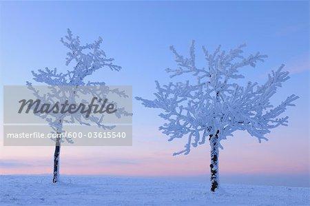 Arbres couvert de neige au crépuscule, Wasserkuppe, montagnes Rhon, Hesse, Allemagne