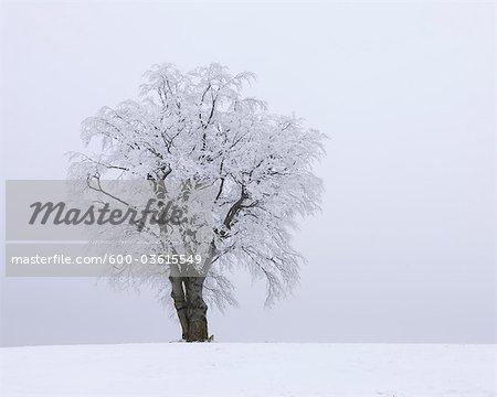 Snow Covered Beech Tree, Mathesberg, Rhon Mountains, Hesse, Germany