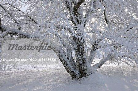 Couverte de neige, arbre, Heidelstein, montagnes Rhon, Bavière, Allemagne