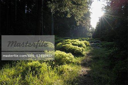 Chemin d'accès, Achtermann, le Parc National du Harz, Basse-Saxe, Allemagne