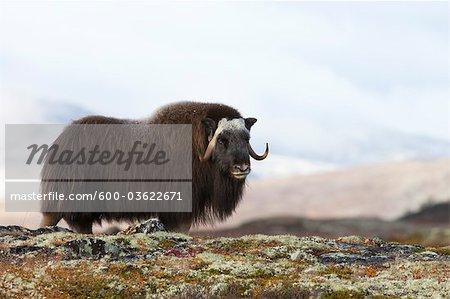 Bœuf musqué, le Parc National de Dovrefjell-Sunndalsfjella, Norvège