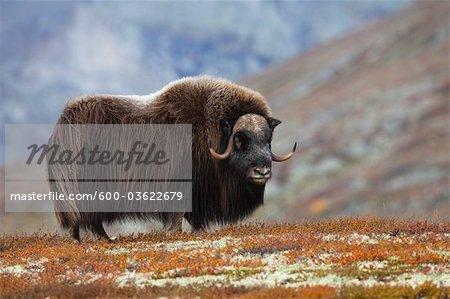 Boeuf musqué Bull sur la toundra, Parc National de Dovrefjell-Sunndalsfjella, Norvège