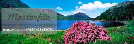 Lac Ballynahinch, Connemara, County Galway, en Irlande ; Lake Scenic avec arbuste à fleurs