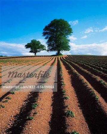 Sycomore et orme labourés champ de pomme de terre, Irlande